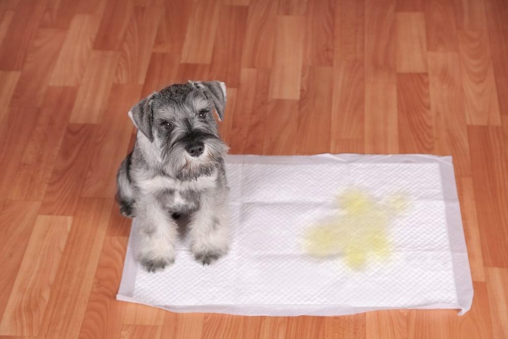 O tapete higiênico é um dos acessórios para cachorro mais indicados para quem mora em apartamento